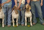 Livestock Judging : Practice Classes I