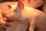 Breeding Swine Evaluation