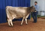 Dairy Cattle Judging Contest IV