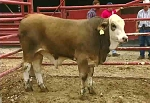 Advanced Quality Grading: Slaughter Cattle