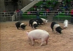 Market Swine Evaluation