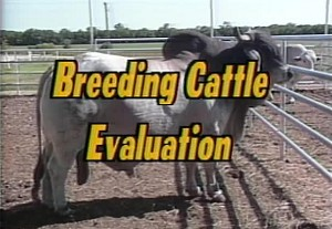 Breeding Cattle Evaluation