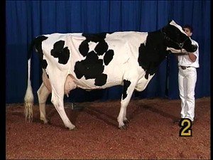 Dairy Cattle Judging Contest V