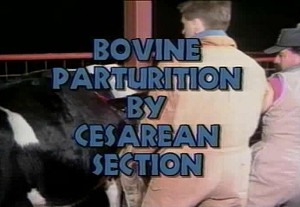 Bovine Parturition by C-Section