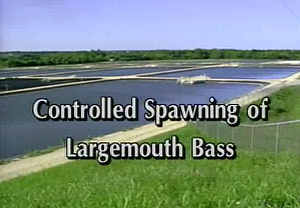 Controlled Spawning of Large Mouth Bass